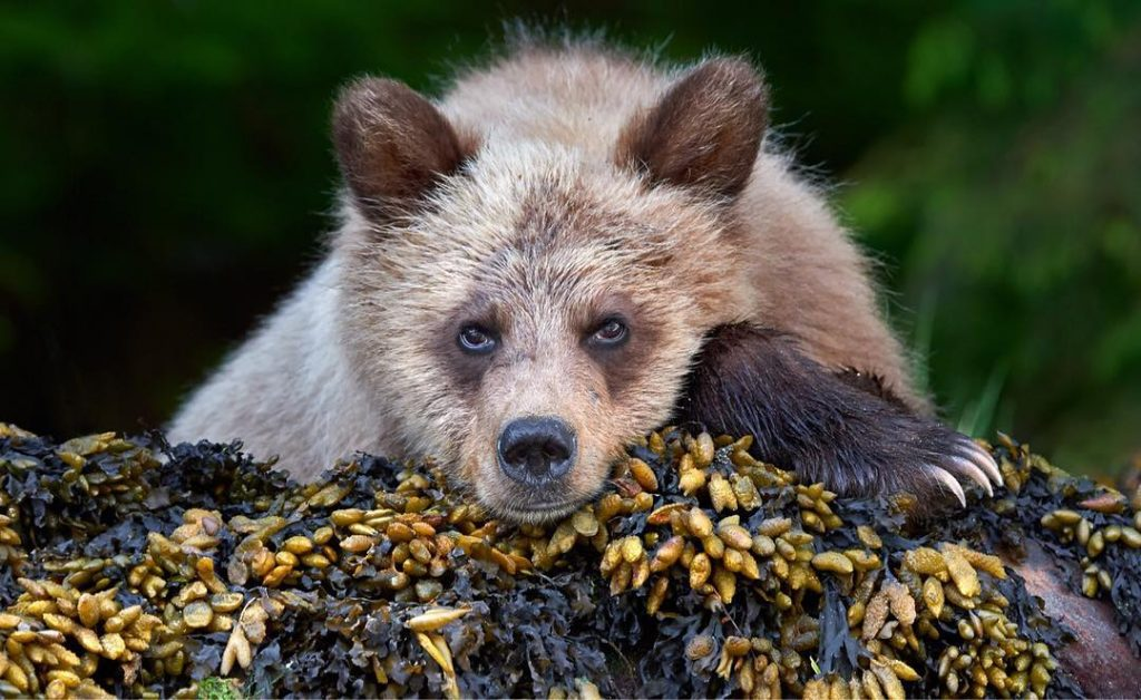 Spirit bear resting its head on the ground , and staring at the camera