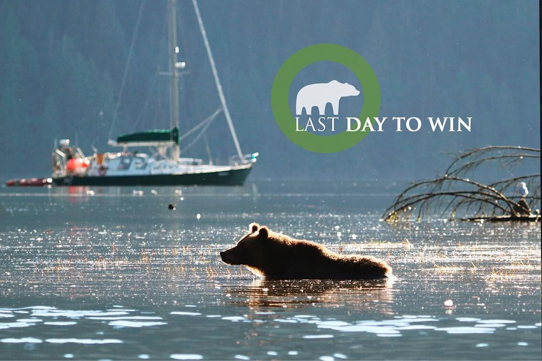 bear wading in water with Achiever boat in background and the caption 'Last day to win'