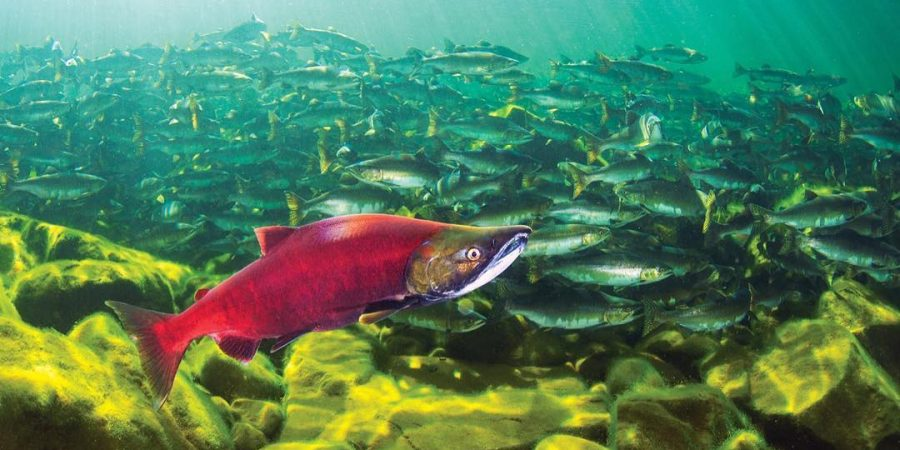 Red salmon in foreground under water