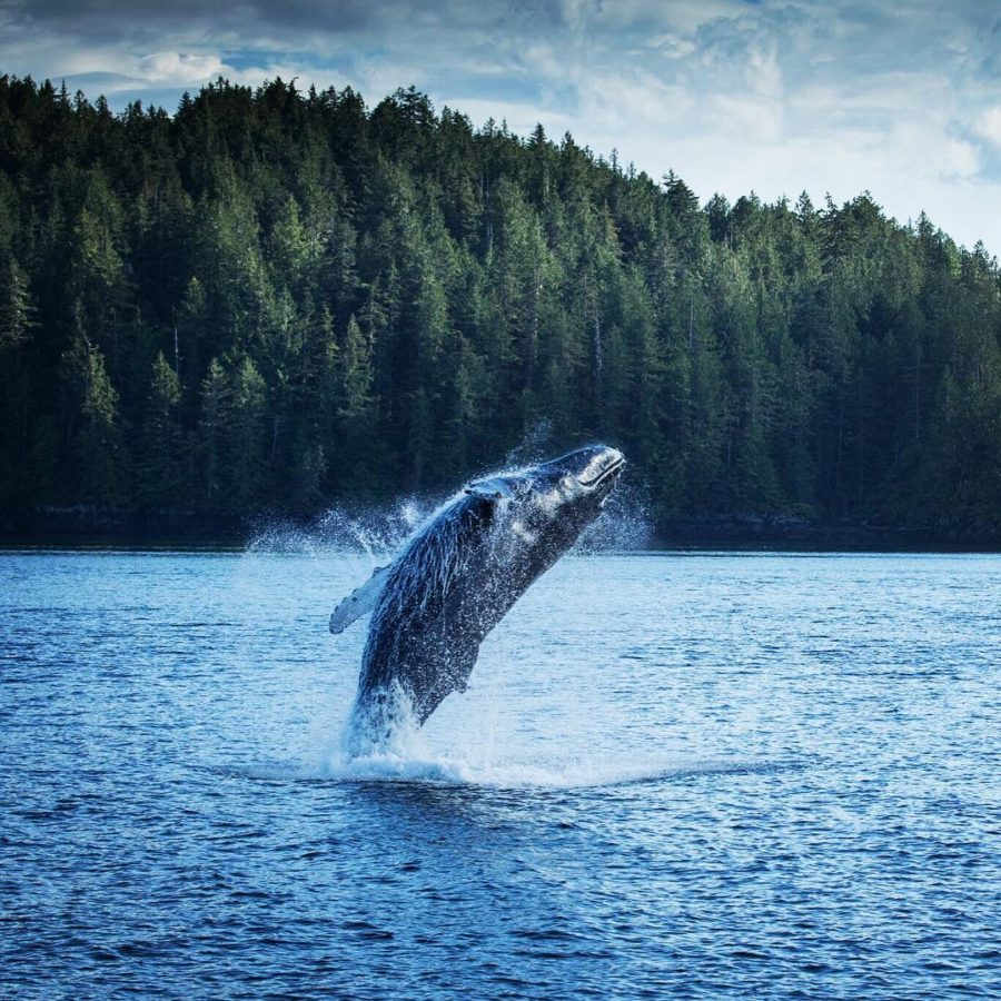 A humpback whale partially out of the water in a spray of white foam with the backdrop of blue ocean and green forest on the shore
