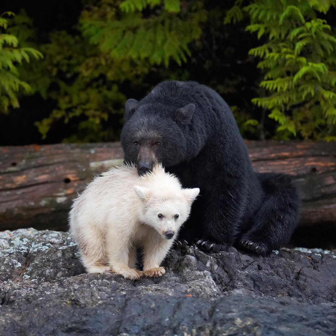 A black bear and a white bear, with the black bear's mouth on the white bear cub's cuff in the Great Bear Rainforest.