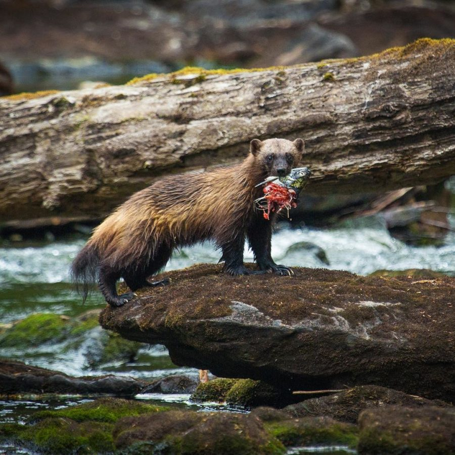 predator in the Great Bear Rainforest, a wolverine poses on a rock by a stream with salmon in its mouth