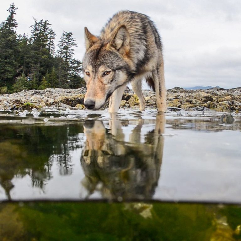 Raincoast moves closer to ending commercial hunting in the Nadeea hunting tenure.