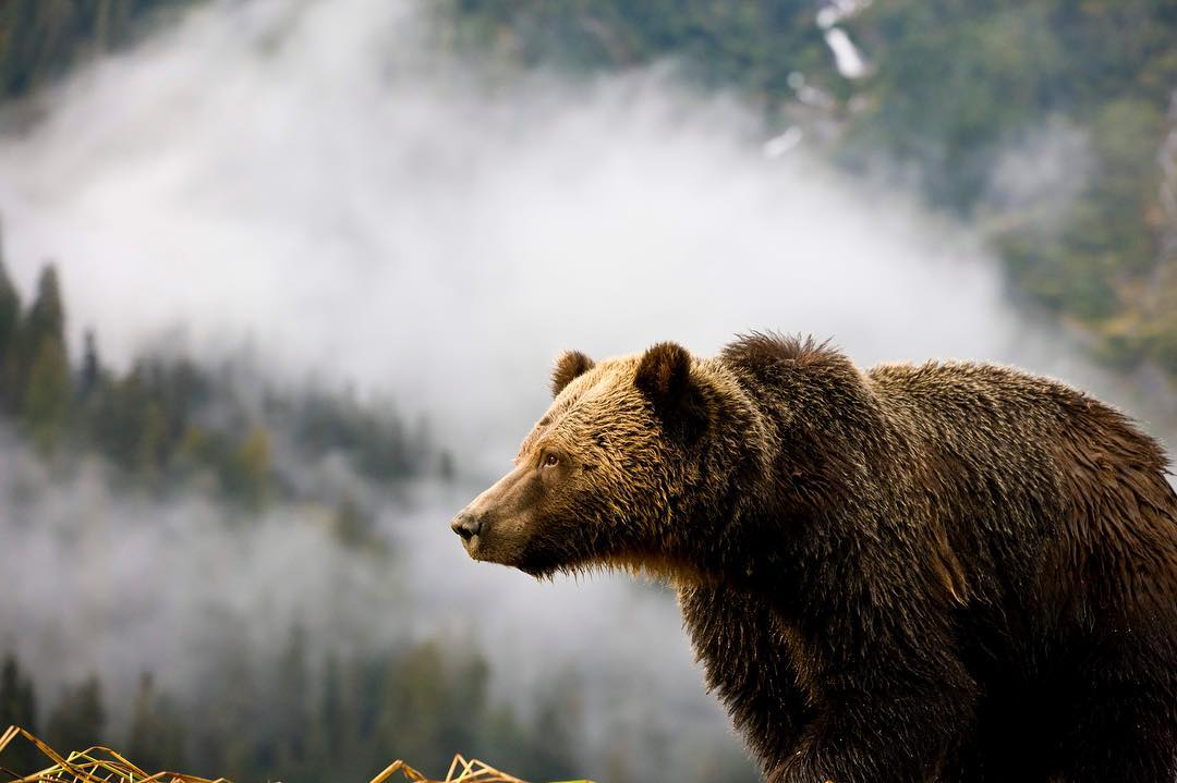 Beautiful brown grizzly bear with fog and clouds behind in the Great bear Rainforest.