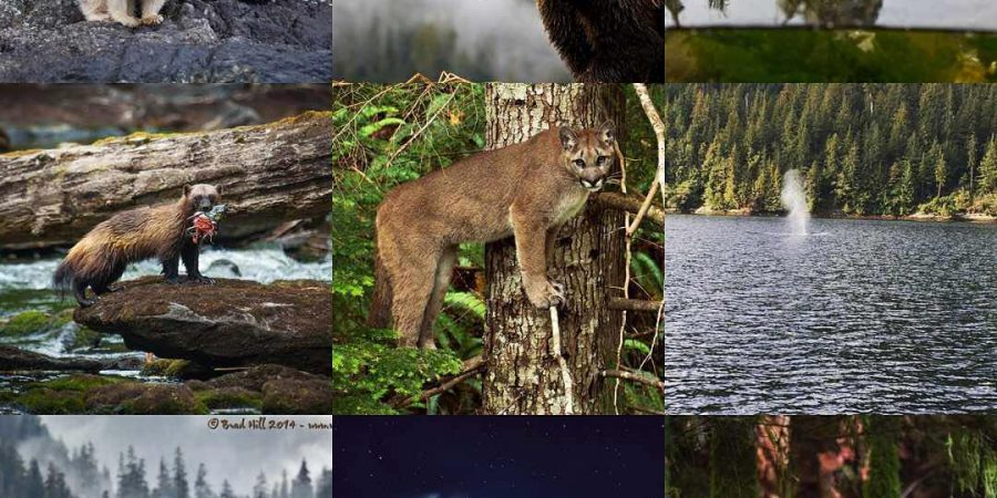 End of year collage of nine wildlife photographs of bears, wolves, cougars and Southern Resident killer whales in the Great Bear Rainforest.