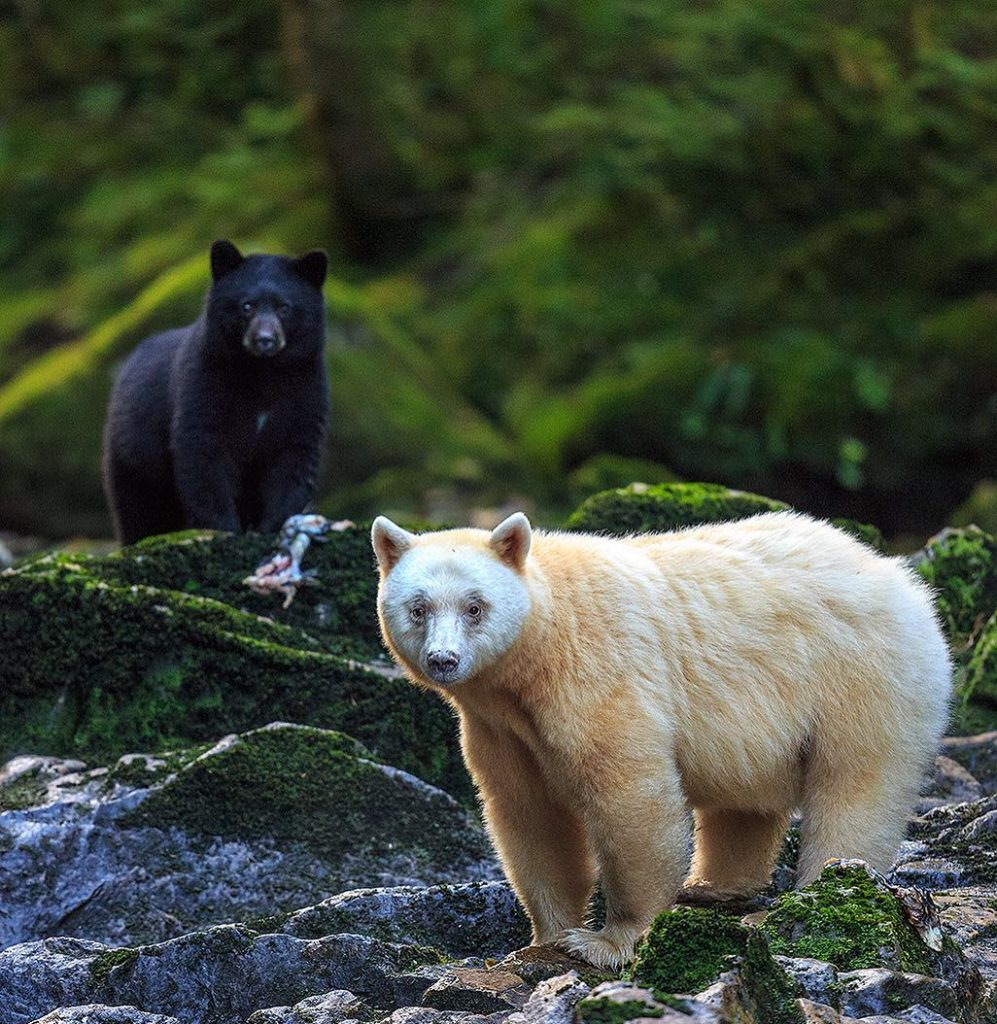 A pirit bear and a black bear standing a few feet apart in the Great Bear Rainforest, both turn to look at the camera.