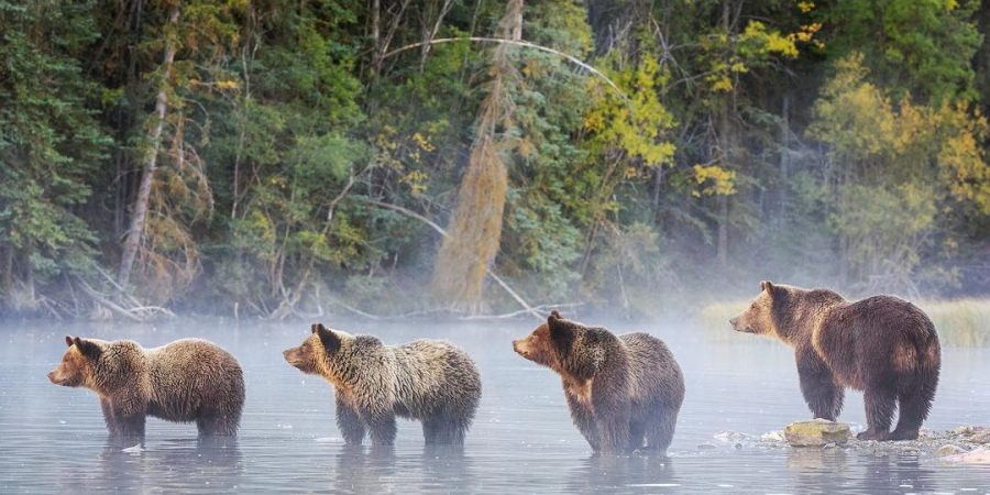 A beautiful photograph of four bears standing in the water on a misty day in the Great Bear Rainforest