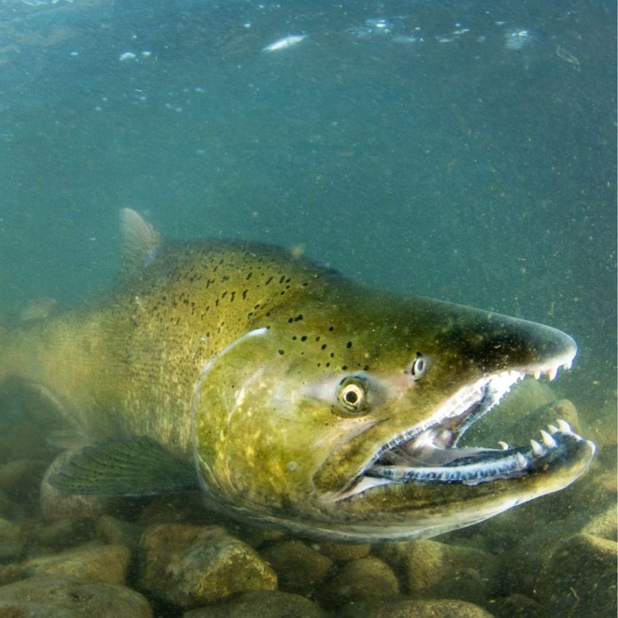 Photo of Chinook salmon under water with its mouth open and teeth visible