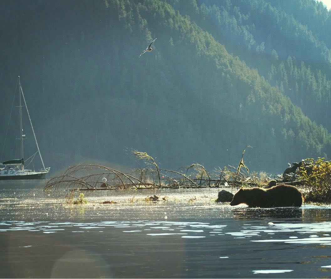 A brown bear seen wading into the water beside a rising mountain in the Great Bear Rainforest.