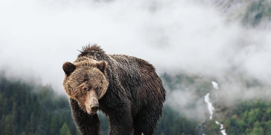 Beautiful brown grizzly bear standing in the Great Bear Rainforest, with the backdrop of a cloud covered mountain.