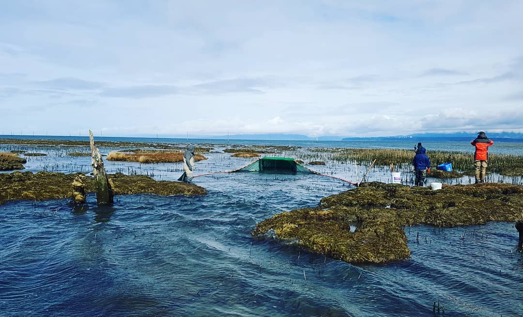 Sampling one of the Steveston jetty breaches.