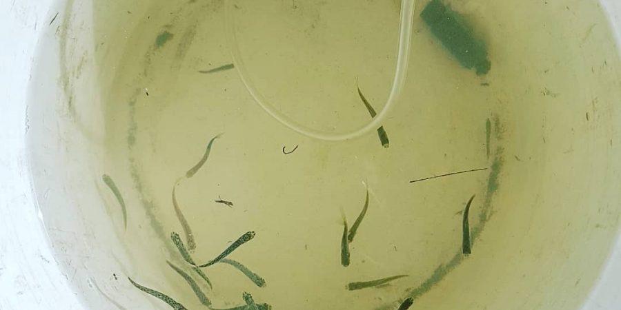 Juvenile salmon in a bucket