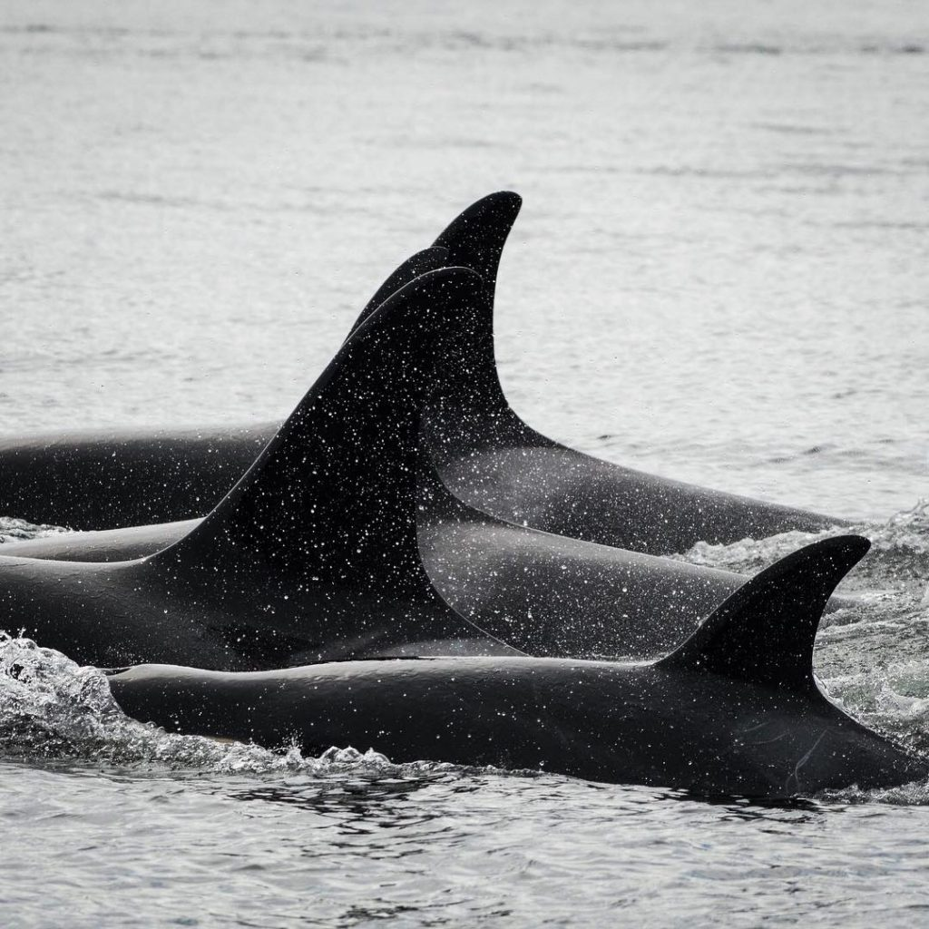 The backs and dorsal fins of four orcas emerge from the gray sea. They are all quite close together.