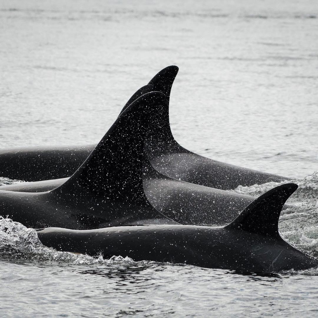 Expert Panel: What is the Future of Southern Resident Killer Whale Recovery?