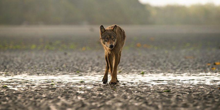A svelte, lanky coastal wolf pads along a rocky beach towards the camera.