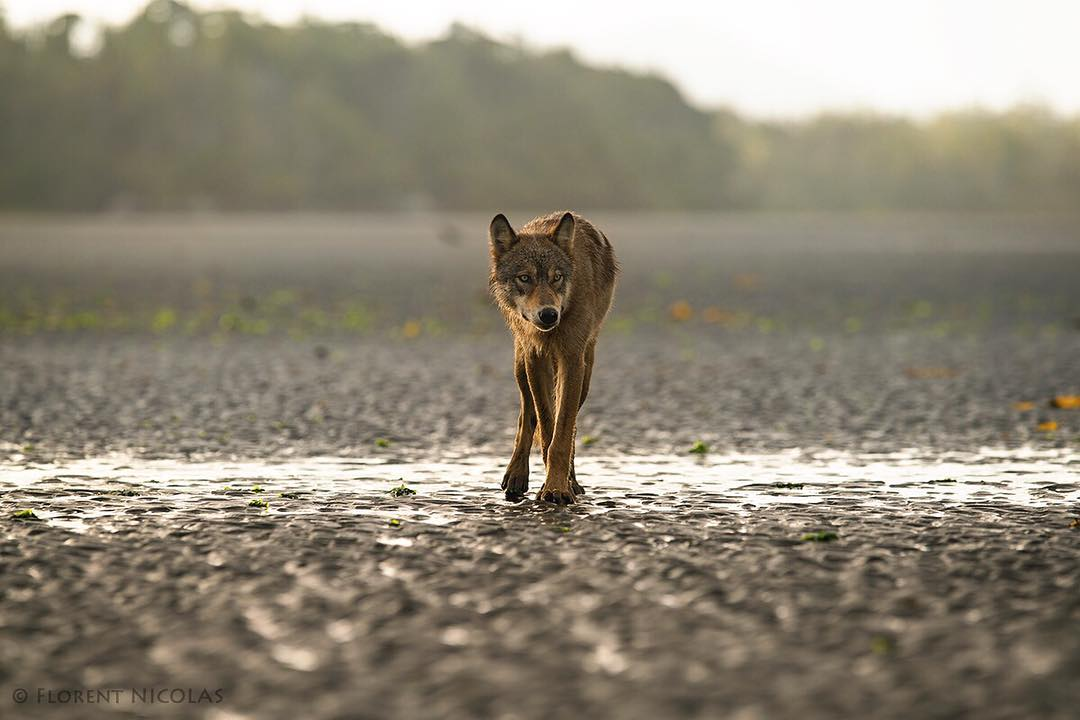 A svelte, lanky coastal wolf pads along a rocky beach towards the camera.