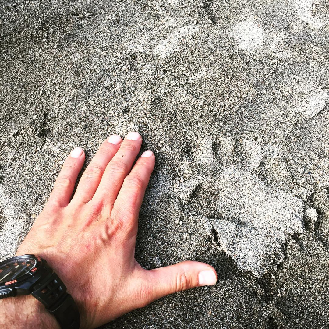 An adult hand in the sand next to a bear print of about the same size.