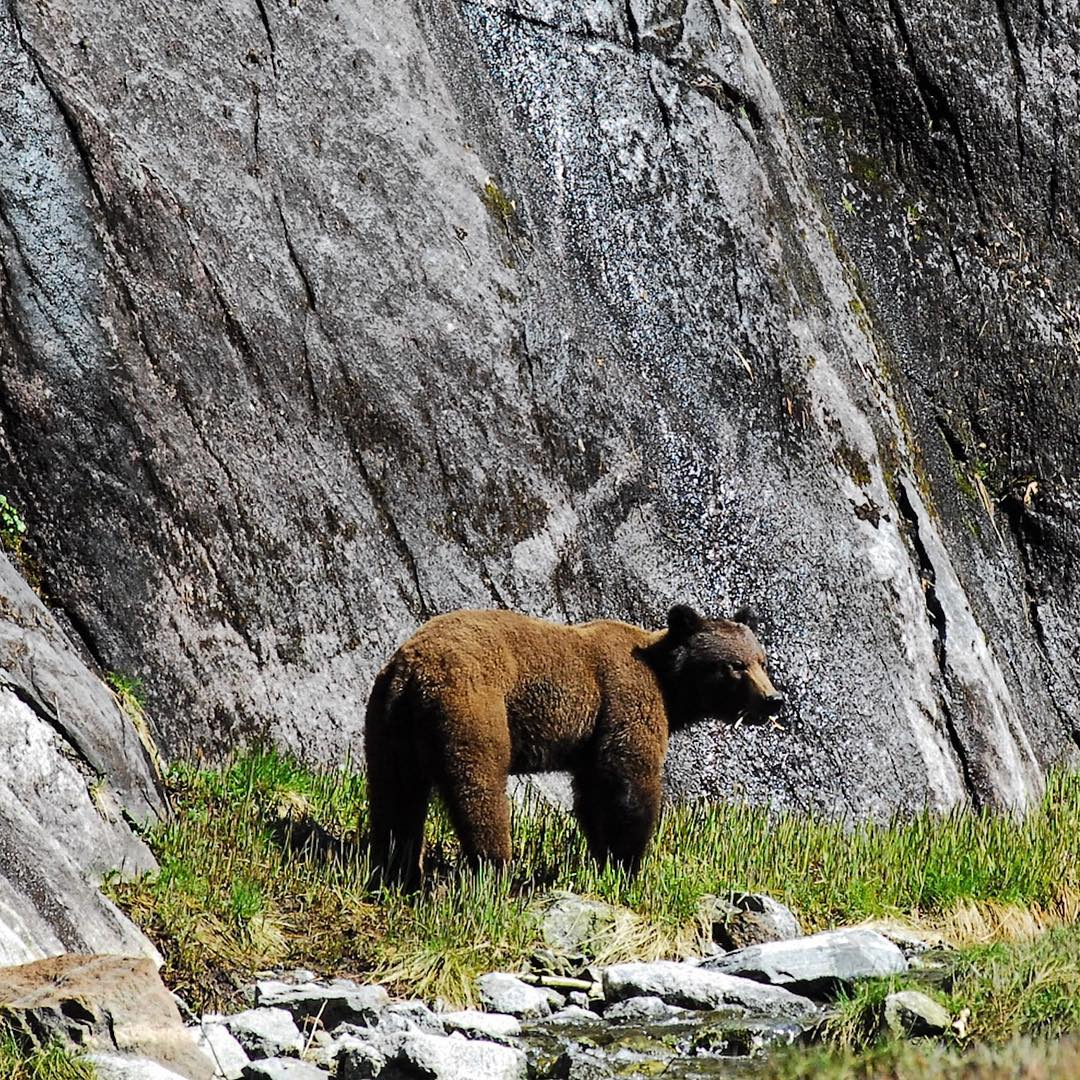 A grizzly bear stands at the grassy base of a steep rock face.