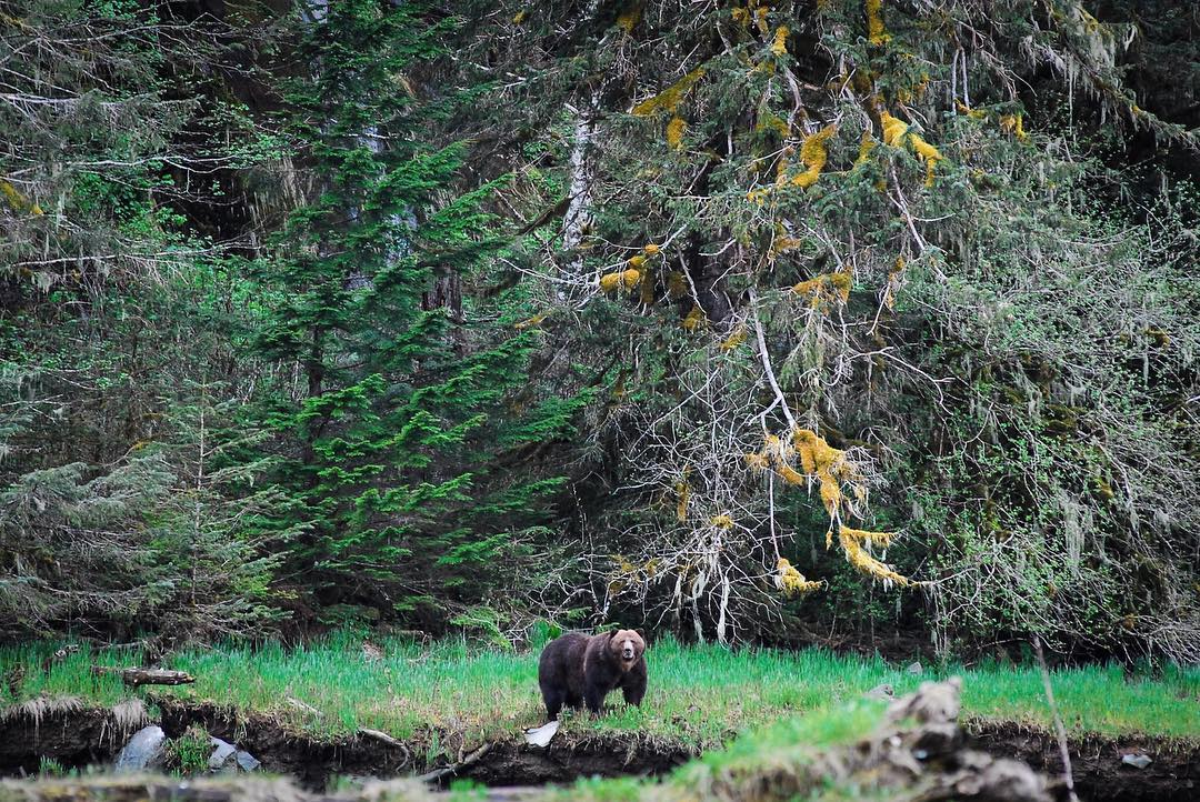 A large grizzly bear stands on a grassy outcrop with forest behind him.