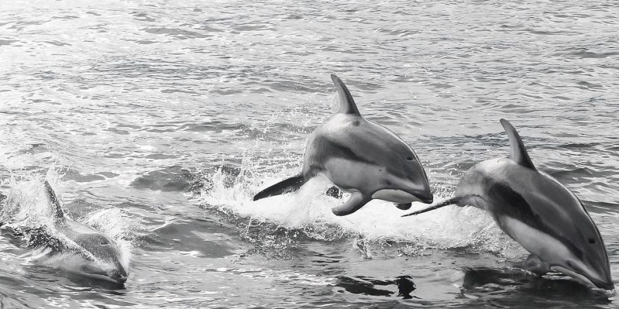 Three porpoises jump out of the ocean in the black and white photo.