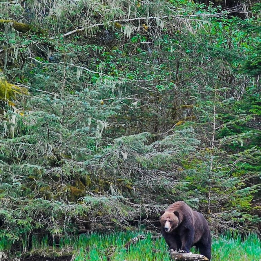 A massive grizzly bear standing on a grassy overhang with evergreens behind him.