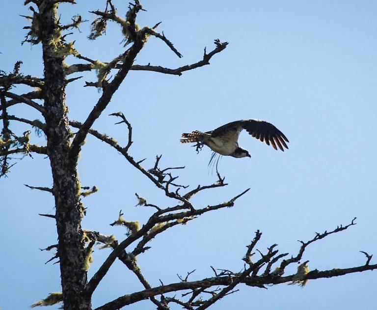 Hawk sighting