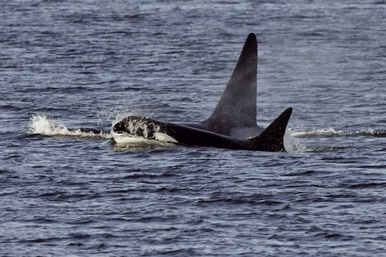 Chinook salmon key to killer whale recovery