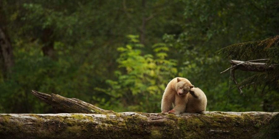 A large white Spirit Bear sitting on a broad fallen tree in a sun dappled forest.