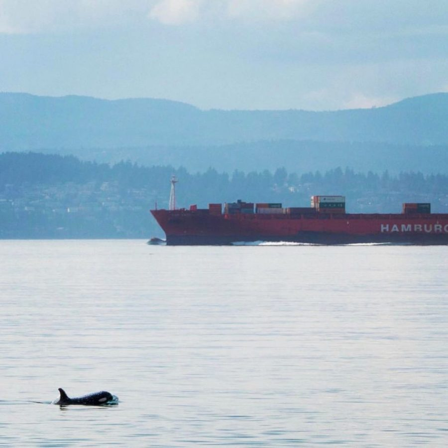 An orca with head and dorsal fin above water and a large tanker in the background.