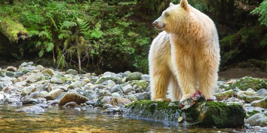 A white Spirit Bear stands to the right looking out to the left. It stands on a rocky bank next to a stream with forest in the background.
