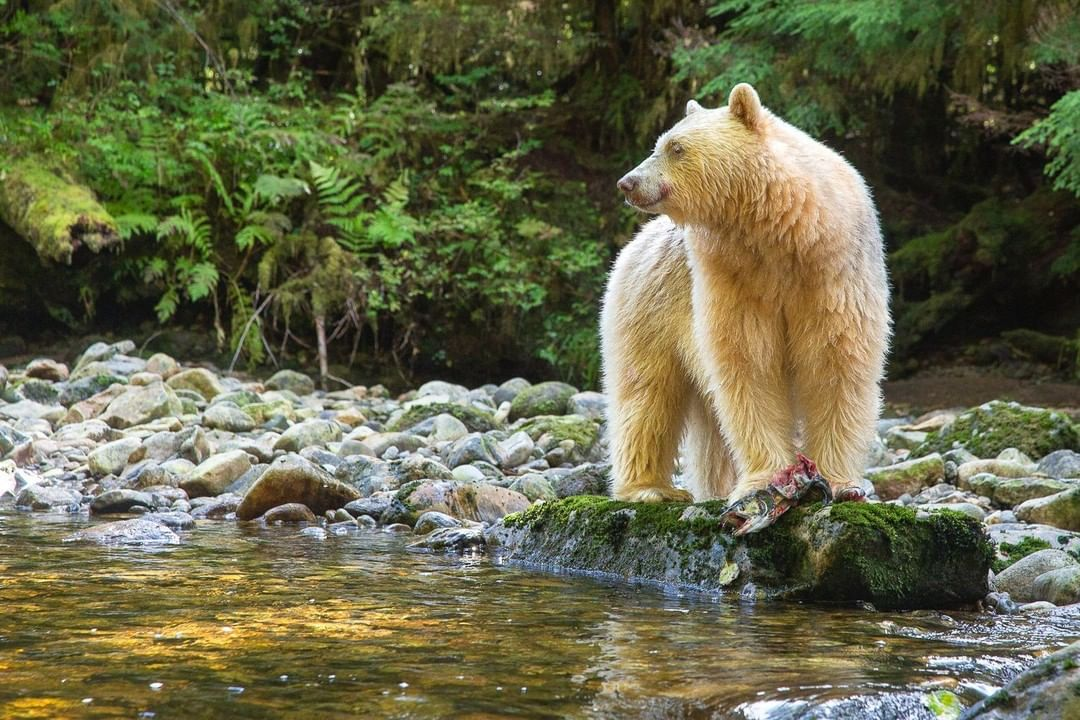 Spirit Bears in the Kitlope Tenure