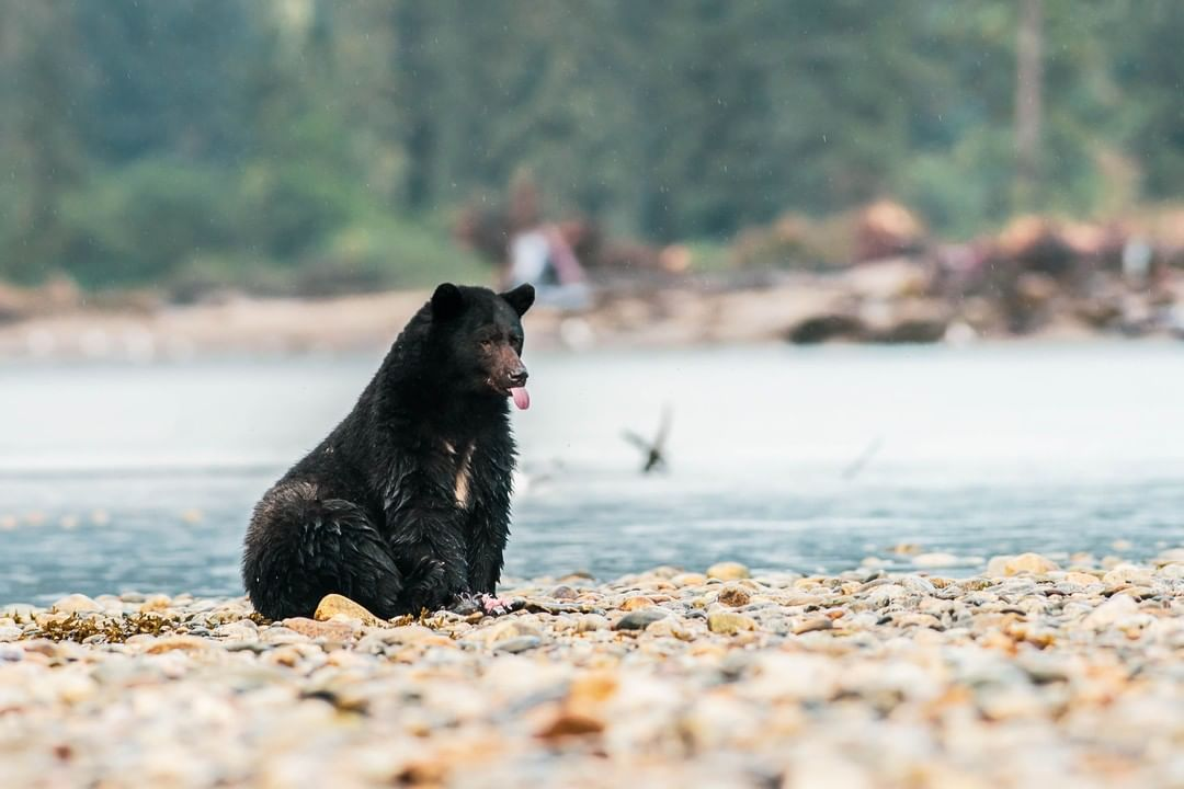 A black bear sits on a rocky beach with water and forest blurred in the background. The bear is sticking out their tongue a bit.