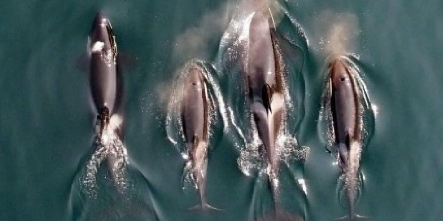 An arial photo of four southern resident killer whales swimming side by side.