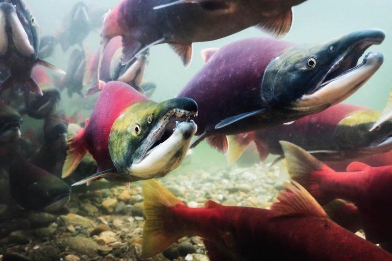 The Salmon Carnivore Project