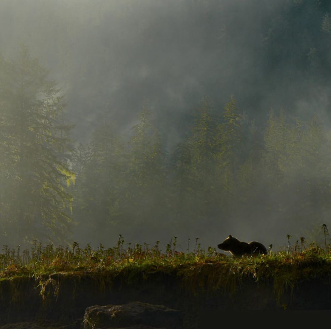 part of Brown bear's body visible, standing on all fours looking out into the forest, framed by trees, mist and mountains