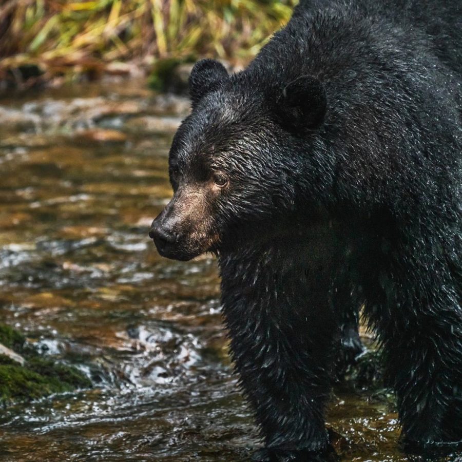 A black bear stands by the edge of water waiting.