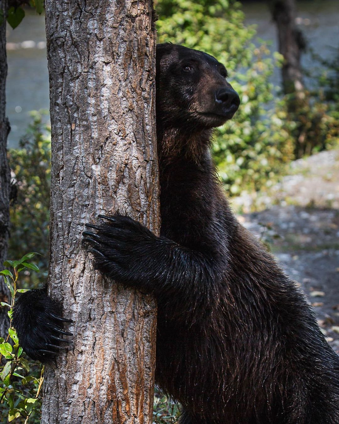 Black bear scratches its front on a tree, while holding the trunk with both its front paws, appearing as though the bear is hugging the tree.