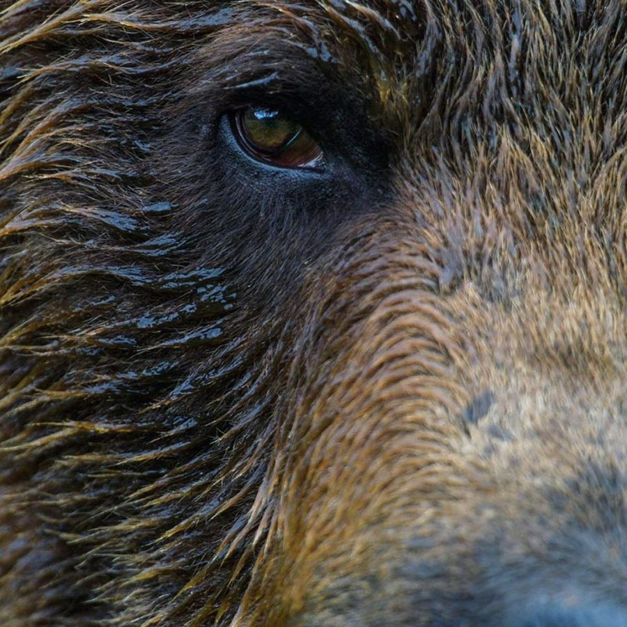 Extreme closeup of a grizzly bear, with the right eye, shaggy hair above eye and part of the nose visible