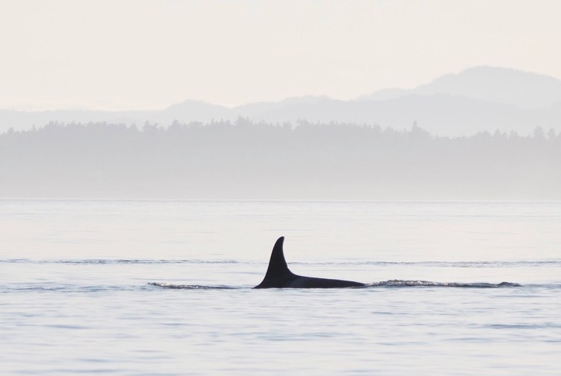 Black fin of an orca whale and part of its back is visible peeking out of still pale blue ocean with mountains and forest in the background shrouded in haze.