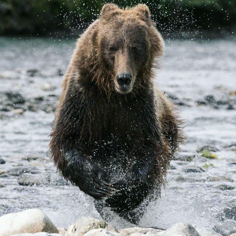 Raincoast studies the effect of ecotourism on bears