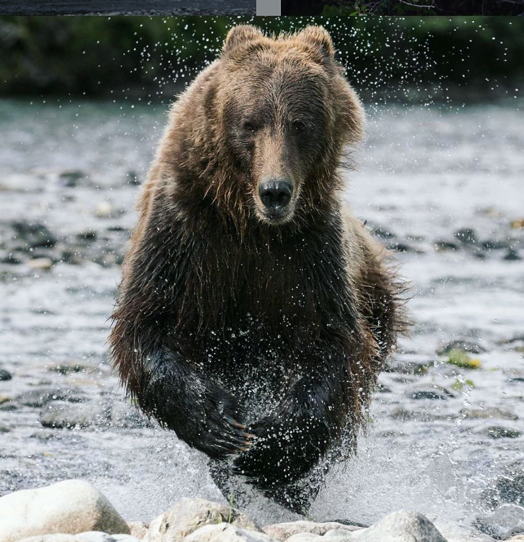 Grizzly bear catches fish with its front paws while standing in water