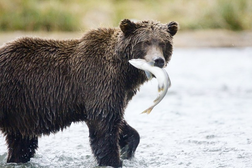 Grizzly bear looks at camera while holding white body of salmon in its mouth, treading in water
