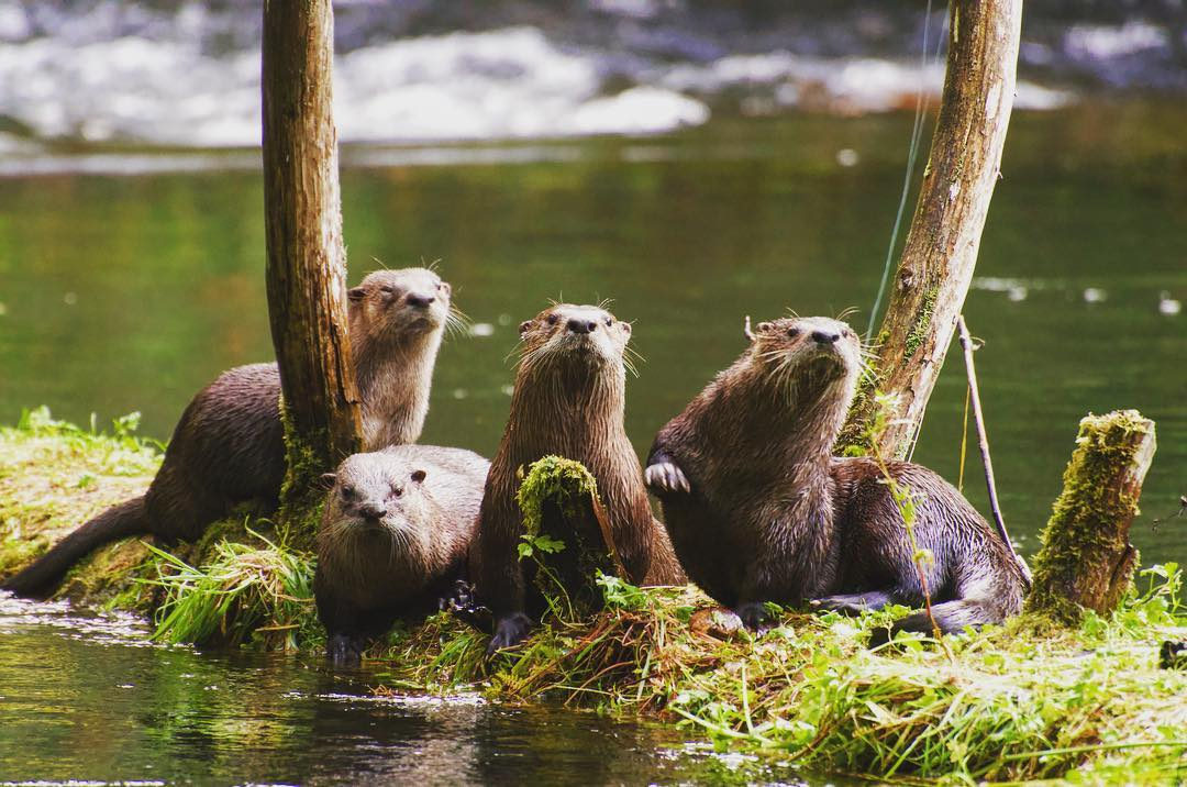 Four otters sit clumped together staring at the camera while on a small bank of grass and trees and rock between arms of the green river.