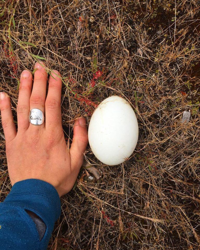 Canadian goose egg