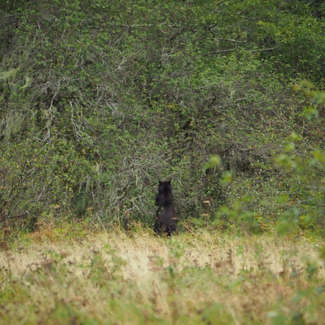 Back of black bear visible as it forages from a wall of dense shrubbery