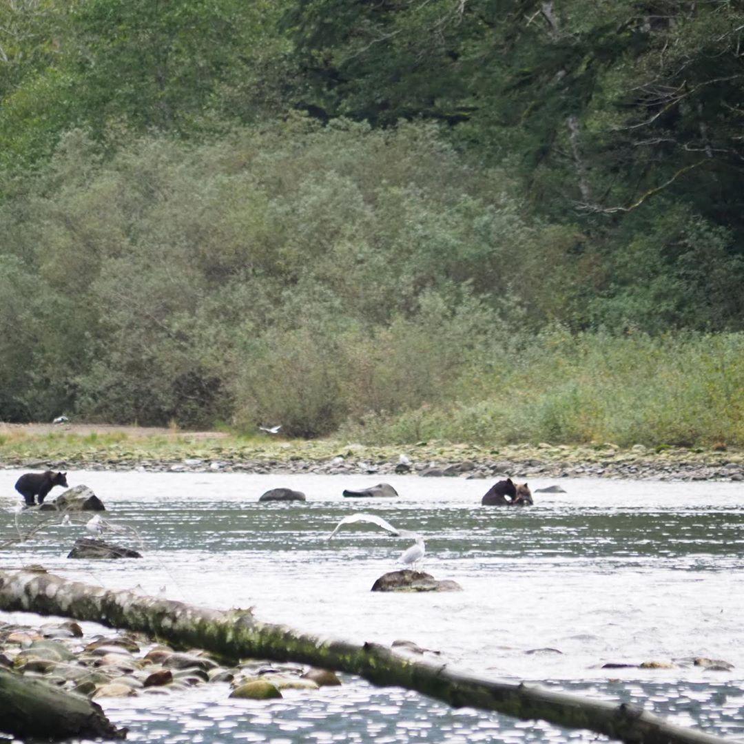 Three bears fishing in water for salmon