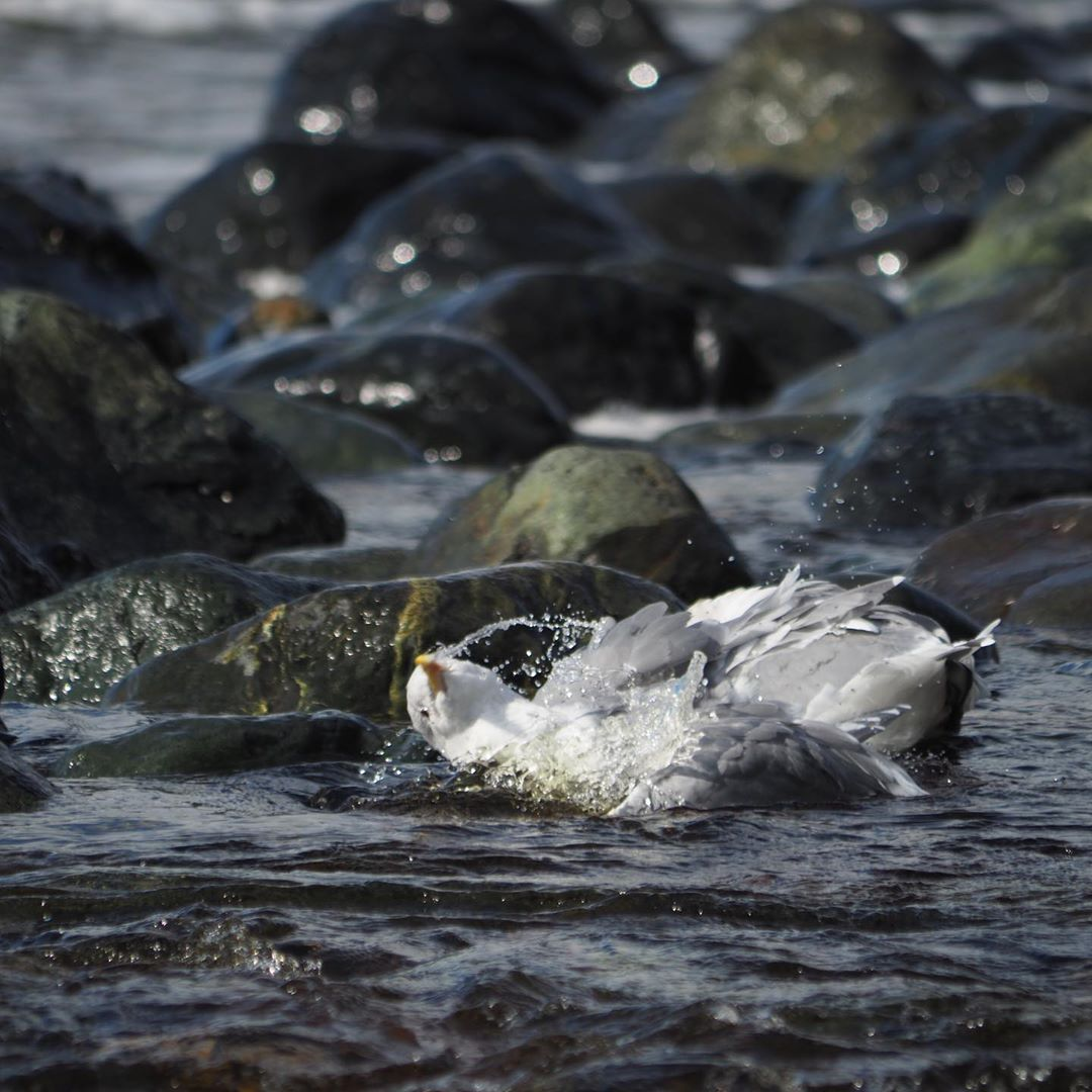 A sea gull dunking itself in a pool of ocean water surrounded by rocks