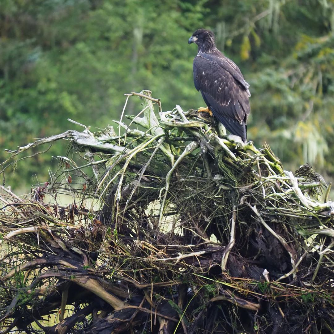 Black bird, a raptor of some kind, sits on a tangle of wood