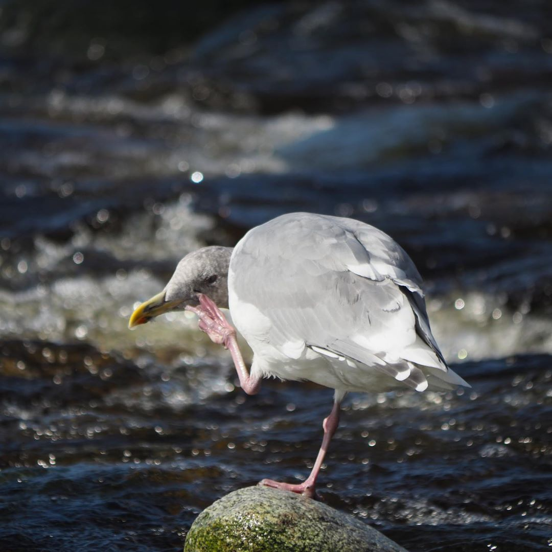 Seagull stands on rock and scratches its face with a pink foot