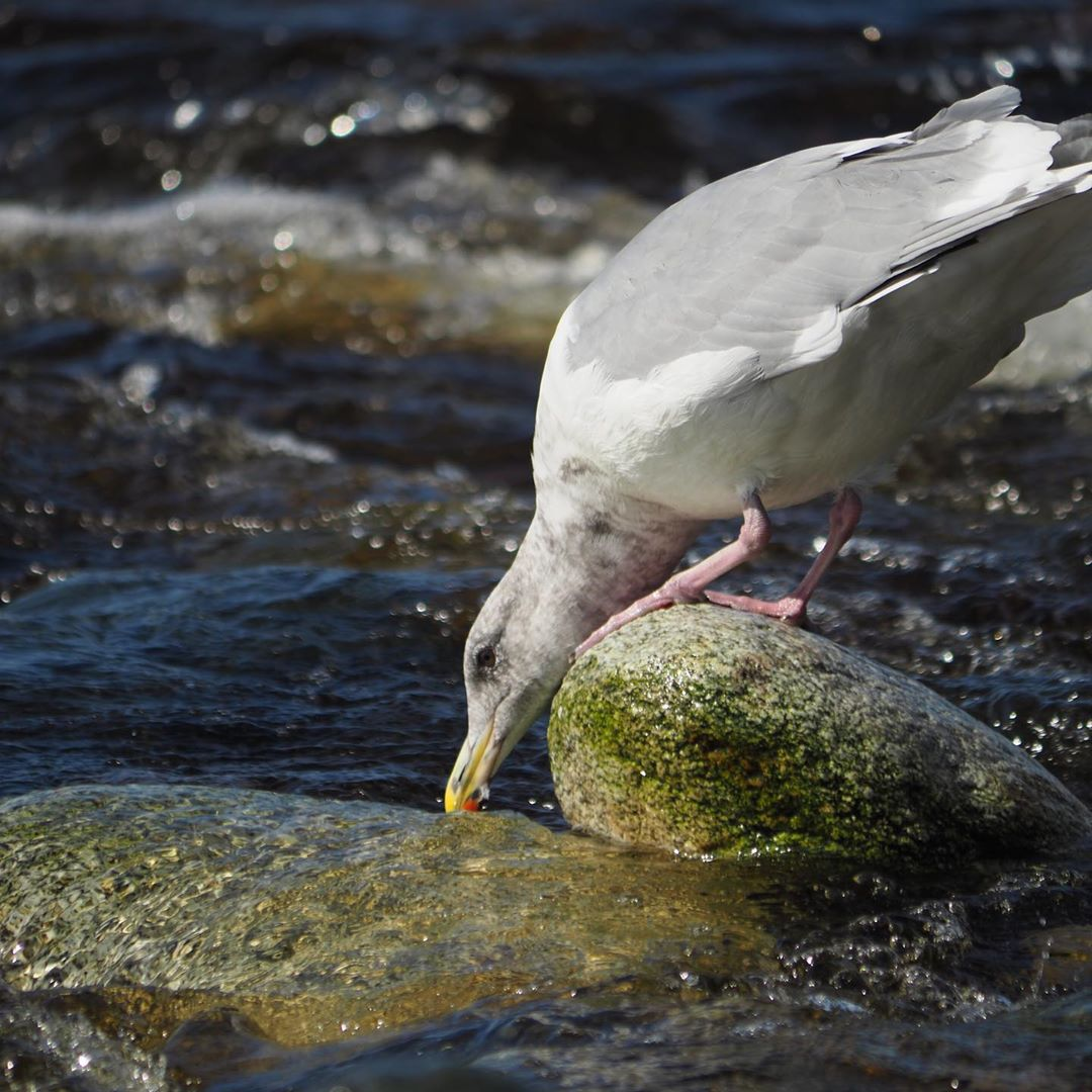 Seagull stands on a mossy green rock and dips it's beak into the blue ocean